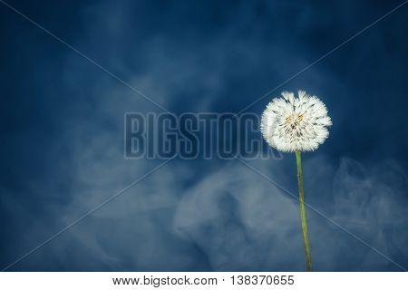 dandelion flower on mist background