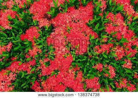 The Ixora flower in the spring time