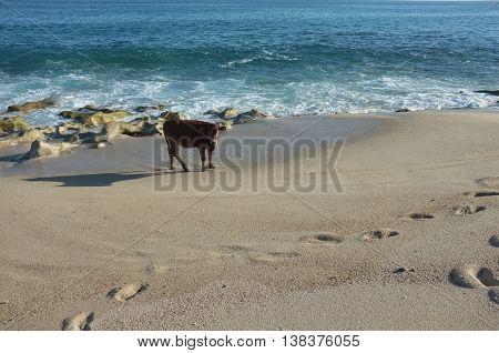 Cattle on beach, San Jose del Cabo, Baja California Sur, Mexico