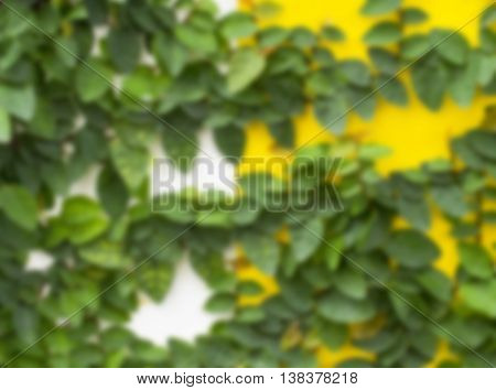 Blurry green wall of ivy gourd for background