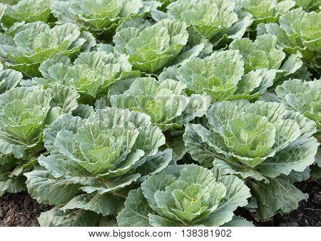Ornamental cabbage in a garden at farm