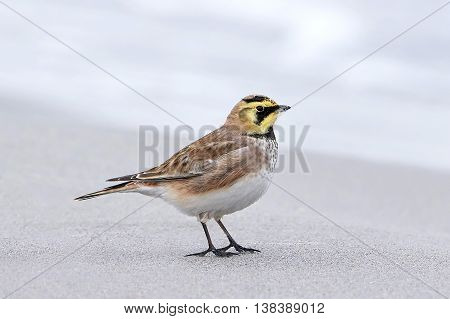 horned lark resting at the beach in its habitat