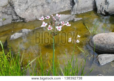 Flowering Rush (Butomus umbellatus) near the water