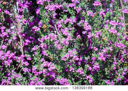Small pink flowers on bush in a summer garden