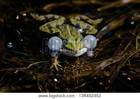 Front view of green frog with balloons while croaking