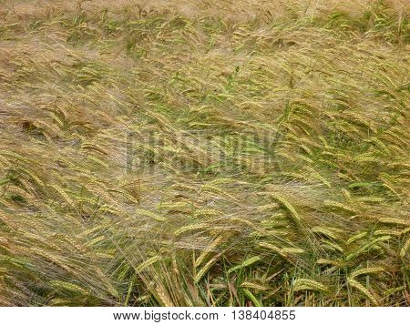 Green Barley Field Od An Almost Ripe Crop