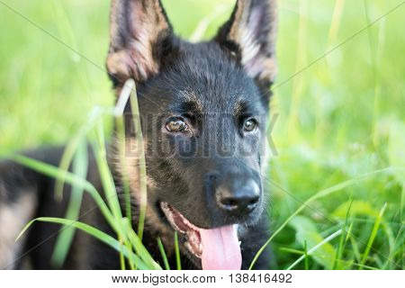 Cute German Shepherd puppy, laying on the lawn.Green lawn background. Playful dog.