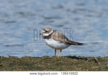 Common ringed plover resting on the ground in its habitat