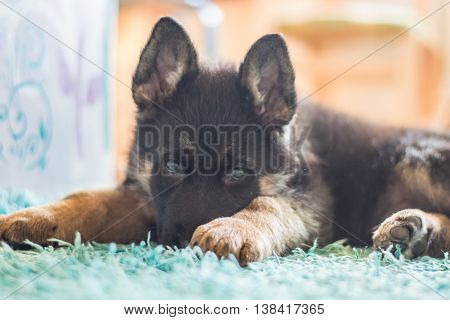 German shepherd puppy. Cute dog laying on the carpet.