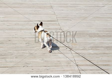 French Bulldog on a leash. Dog is walking near the sea and lead. Owner follow their dog.