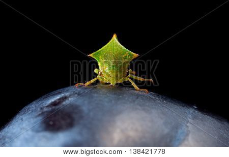 Macro Of Cicada En Face