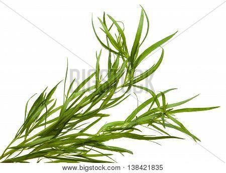 Fresh Tarragon Twigs