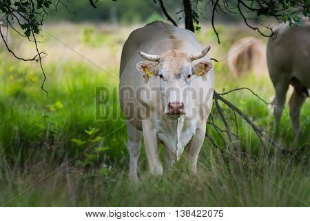 Charolise white big cow in the grassland