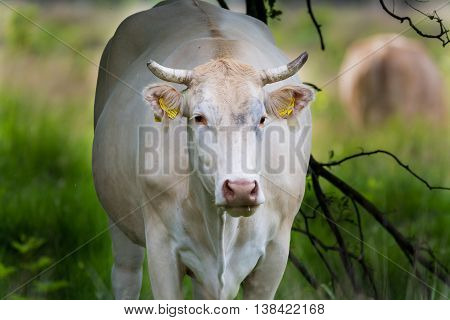 Charolise big white cow in the grassland