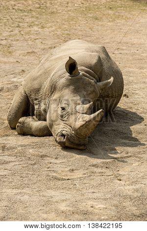 Big and heavy rhinoceros in Zoo, Ireland