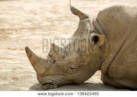 Big and heavy rhinoceros in Zoo
