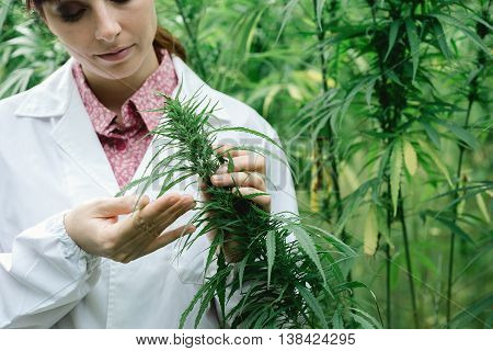 Scientist Checking Hemp Flowers