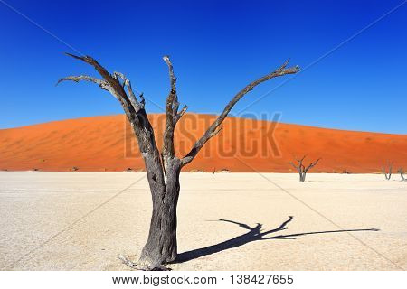 Dead Camelthorn Trees against red dunes and blue sky in Deadvlei Sossusvlei. Namib-Naukluft National Park Namibia Africa