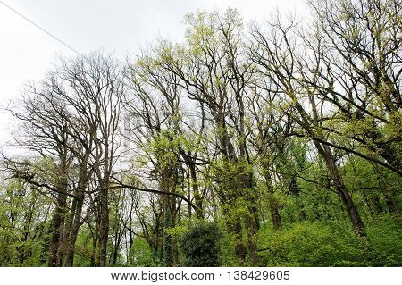 High trees in early spring at cloudy weather