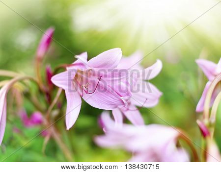 Pink lilies or Amaryllis belladonna with selective focus and copy space. Beautiful pink flowers and sunlight.