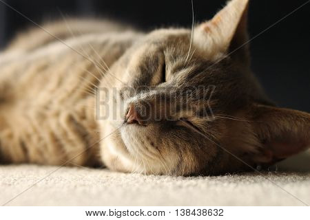 Soft gray striped cat taking a nap.