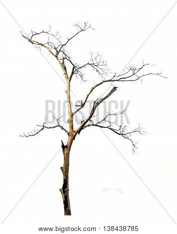 burned leafless a tree on white background