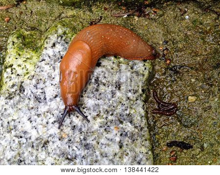 Spanish slug on a grey stone (Arion vulgaris)