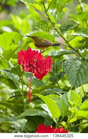 Female Olive-backed Sunbird perched on a red hibiscus flower