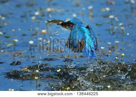 kingfisher (alcedo atthis) fishing