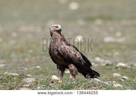 bird of prey on field in spring (aquila pomarina)