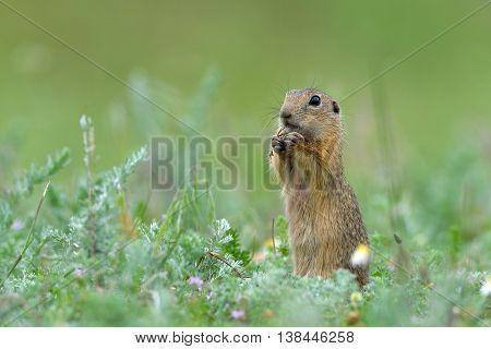 cute European ground squirrel on field in summer (Spermophilus citellus)