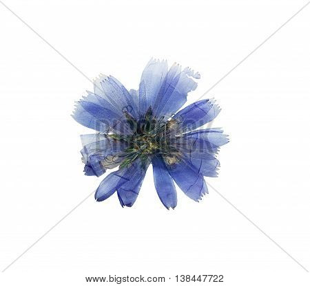 Pressed and dried delicate transparent blue flowers chicory or cichorium. Isolated on white background. For use in scrapbooking floristry (oshibana) or herbarium.