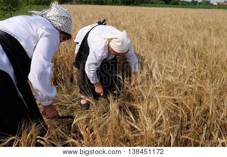 NEDELISCE, CROATIA - JULY 02, 2016: Peasant woman harvesting wheat with scythe in wheat fields in Nedelisce, Croatia on July 02, 2016