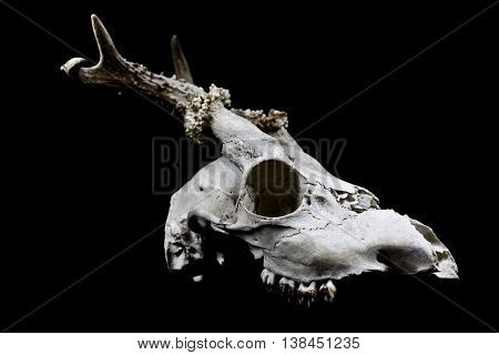 Decayed deer skull with odd antlers on black background