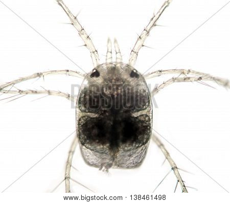 Freshwater zooplankton. Decapoda Water Mite. Hydrachnidae on light background