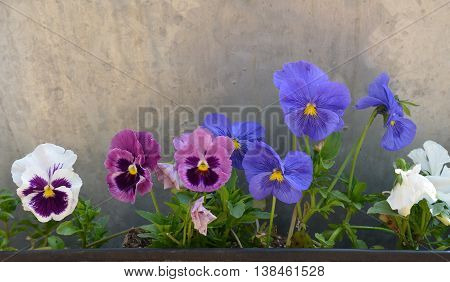 Multicolored Blue and Purple Pansy (Viola) Plants