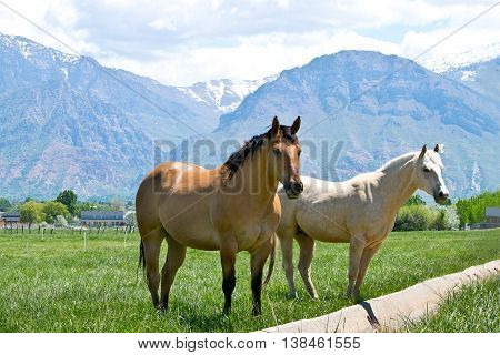 Two Utah horses in the nature with mountains