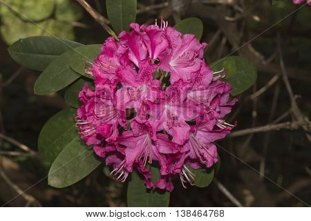 Pink Labrador tea (Rhododendron) flower close up with a background of leaves