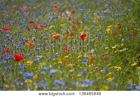 Wildflower Meadow during the Summertime in Scotland