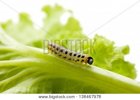 Pest Caterpillar On Lettuce Leaf Isolated On White Background