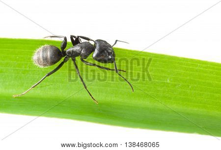 Ant On Grass Blade