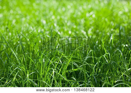 Shallow DOF shot of spring lawn selective focus on nearest grass blades