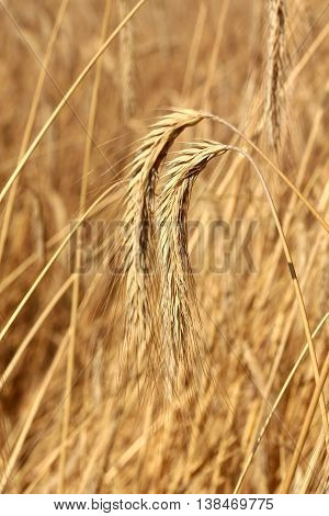 picture of a golden rye field on sunny day
