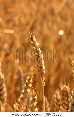 picture of a golden colorrs of a Wheat ears in summer