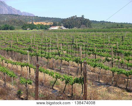 Grape Farm, Western Cape, South Africa