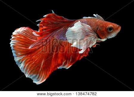 Red and white Haft moon tail Betta fish or Siamese fighting fish photo in flash studio lighting.