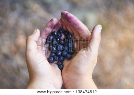 Handful of blueberries. Child picking blueberries in the wood.