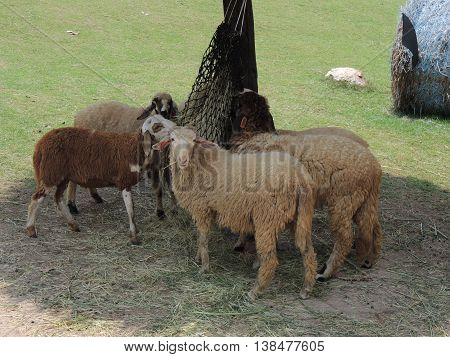 animals sheep eat hay under the shed