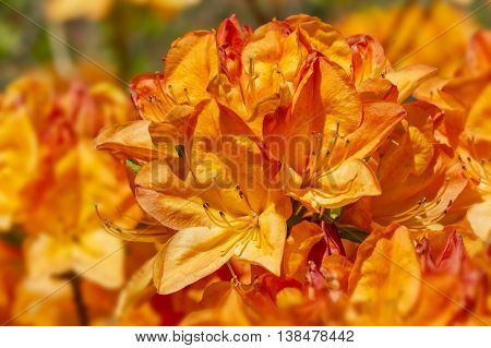 Bright orange shrub of Golden Eagle Rhododendron