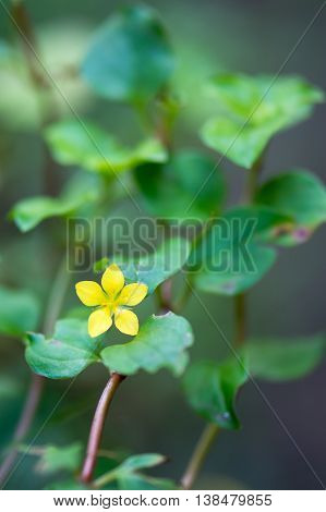 Yellow pimpernel (Lysimachia nemorum) plant in flower. Low growing woodland plant in the primrose family (Primulaceae) with bright golden yellow flower
